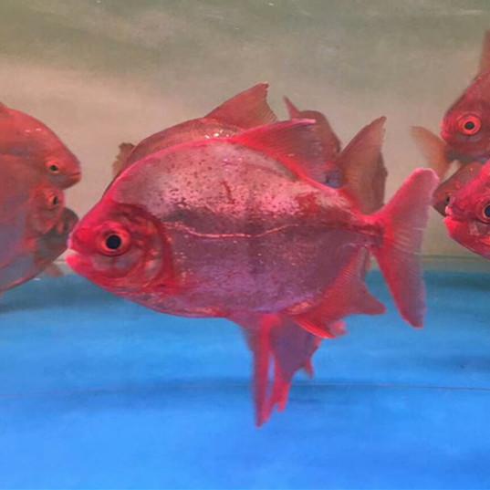 肇州玫瑰银版鱼